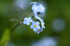 Forgetmenot Stock Photos