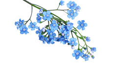 Forgetmenot Royalty Free Stock Image