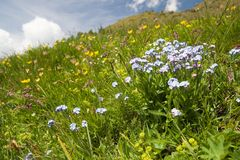 Forgetmenot. Environs of Brusson (val d'Aosta) in italian Alps royalty free stock images