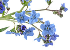 Forgetmenot Royalty Free Stock Photo