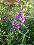 Forgetmenot flower, waew wichian flower Royalty Free Stock Image