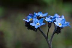 Forgetmenot flowers, close up shot Stock Photo