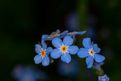 Forgetmenot Stock Photo