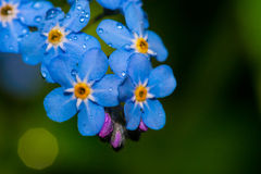 Forgetmenot Stock Images