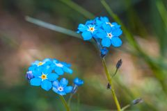 Forgetmenots flowers Royalty Free Stock Photography