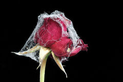 Forgotten Love - rose with web Royalty Free Stock Image