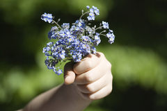 Forgret-me-not flowers (myosotis) Stock Photos