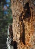 Fori del picchio dell'albero di decomposizione Fotografia Stock Libera da Diritti