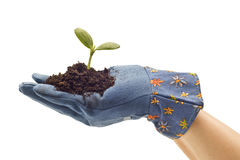 Fork Gardening Glove Holding Baby Plant Stock Photography