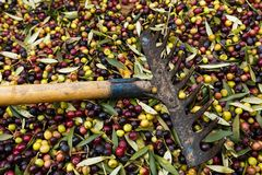 Fork over olives harvested during harvesting season to make olive oil, ready to be carried to mill, Priorat, Tarragona, Catalonia. Spain royalty free stock photography