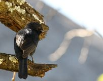 Fork Tail Drongo on Dead Branch Royalty Free Stock Images