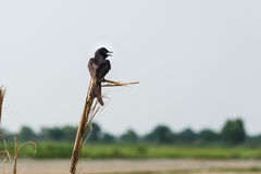 Fork tailed Black Drongo Royalty Free Stock Image