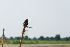 Fork tailed Black Drongo Royalty Free Stock Photo