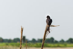 Fork tailed Black Drongo Royalty Free Stock Images