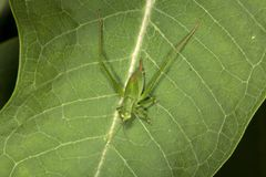 Fork tailed bush katydid nymph on milkweed leaf in Connecticut. Female, fork tailed bush katydid, Scudderia furcata, with prominent ovipositor on milkweed plant stock photography