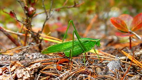 Fork-tailed Bush Katydid (Scudderia furcata) Royalty Free Stock Images