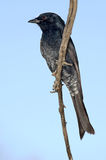 Fork tailed drongo. A fork tailed drongo in tree Stock Photo
