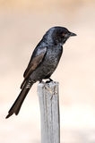 Fork tailed drongo Royalty Free Stock Images