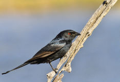 Fork tailed drongo Royalty Free Stock Image