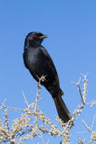 Fork-tailed drongo Stock Images