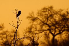 Fork-tailed drongo Royalty Free Stock Images