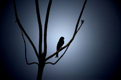 Fork Tailed Drongo. Bird silhouette forked tail sitting on branch Stock Photos