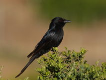 Fork tailed Drongo. Stock Photography