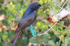 Fork tailed drongo Stock Image