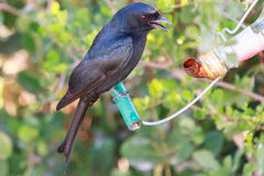 Fork tailed drongo Royalty Free Stock Photo