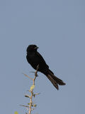 Fork-tailed Drongo (Dicrurus adsimilis). In the Etosha National Park, Namibia Stock Image