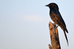Fork-tailed drongo (Dicrurus adsimilis). Fork-tailed drongo, also called the common drongo, African drongo, or savanna drongo (Dicrurus adsimilis) in Kruger Stock Photo
