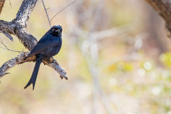 Fork-tailed Drongo. The Fork-tailed Drongo Dicrurus adsimilis is known for its ability to mimic the sounds of birds of prey and to trick other animals into Royalty Free Stock Photography