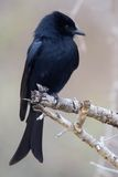 Fork-tailed Drongo (Dicrurus adsimilis). In Kruger National Park, South Africa Royalty Free Stock Photos