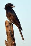 Fork-tailed Drongo (Dicrurus adsimilis) Royalty Free Stock Images