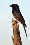 Fork-tailed Drongo (Dicrurus adsimilis). In Kruger National Park, South Africa Stock Image