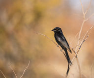 Fork-tailed Drongo (Dicrurus adsimilis) Perched on a Branch. In Beautiful Morning Light in South Africa Stock Photo
