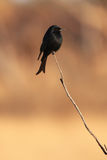 Fork-tailed drongo Dicrurus adsimilis sitting on a thin branch at sunset. With an orange background Royalty Free Stock Photo