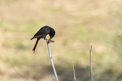 Fork-tailed Drongo in Kruger National park Stock Photos