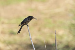 Fork-tailed Drongo in Kruger National park Stock Images