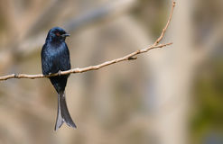 Fork Tailed Drongo in Kruger Park Royalty Free Stock Photography