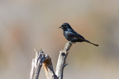 Fork-tailed Drongo Stock Photography