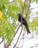 Fork-tailed Drongo with nesting material. A Fork-tailed Drongo bird Dicrurus adsimilis carrying nesting material in the african forest Royalty Free Stock Image
