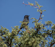 Fork-tailed Drongo Stock Photos
