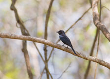 Fork-tailed Drongo perching on branch. The Fork-tailed Drongo or Common Drongo - Dicrurus adsimilis - is also an inhabitant to the Arabuko Sokoke Forest, home to Royalty Free Stock Images