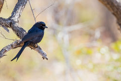Fork-tailed Drongo Perching. The Fork-tailed Drongo Dicrurus adsimilis is known for its ability to mimic the sounds of birds of prey and to trick other animals royalty free stock images