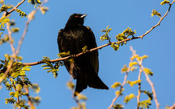 Fork tailed Drongo sitting on a branch Royalty Free Stock Photo