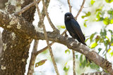 Fork-tailed Drongo Royalty Free Stock Photography