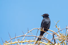 Fork-tailed Drongo in thorn tree Stock Images