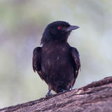 Fork-tailed Drongo Royalty Free Stock Image