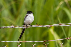 Fork-tailed Flycatcher Royalty Free Stock Photos